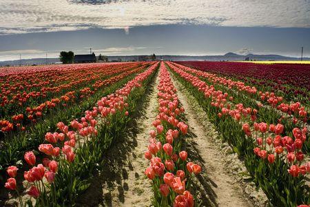 skagit: Pink Tulip Fields in the Spring, Mount Vernon, Skagit County, Washington, Northwest
