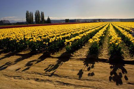 skagit: Yellow Tulip fields with Shadows, Mount Vernon, Skagit County, Washington, Northwest in the Spring
