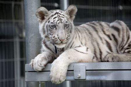 Royal White Bengal Tiger Cub.  Only three hundred of these tigers are left in the World. photo