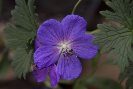 hardy: Hardy Blue Geranium Macro Close Up