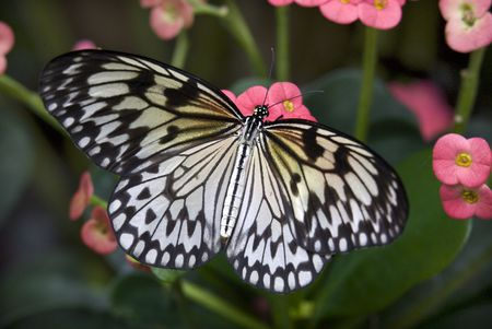 Black and White Rice Paper or Paper Kite Butterfly, Idea Leuconoe, on Pink Flowers with Wings Outstretched