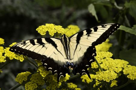 Black and White Zebra Swallowtail Butterfly, Eurytides Marcellus, on Yellow flowers Macro Close Up