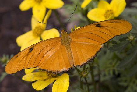 黄色の花の明るいオレンジ色のジュリア蛾ヤンガードリアス期ジュリア  校閲者からのコメントに応えて - 再送信はさらにノイズを低減しシャープに