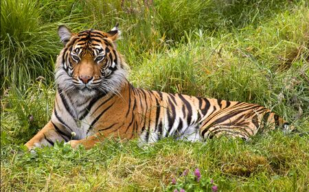 sumatran tiger: Large Orange Striped Sumatran Tiger, Pantherea Tigris Sumatrae, Lying in the Grass Looking  Resubmit--In response to comments from reviewer have further processed image to reduce noise, sharpen focus and adjust lighting.