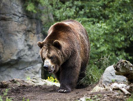 Kodiak Brown Bear Walking on Trail Ursus Arctos     photo
