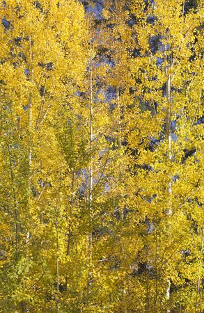 quaking aspen: Yellow Gold Quaking Aspen Trees Leaves Close Up Fall Colors Leavenworth Washington, October 10, 2008