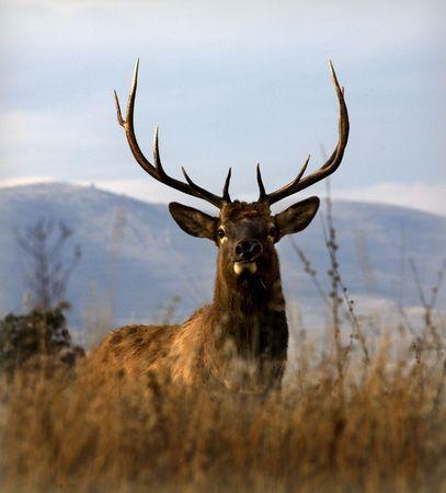 alce: Big Elk con grandi Rack di corni Nazionale Bison Range Charlo Montana