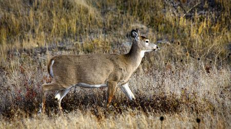 white tail deer: White Tail Deer Walking in the Brush among Fall Colors National Bison Range Charlo Montana