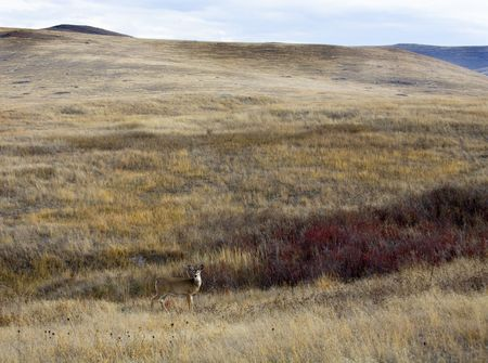 white tail deer: White Tail Deer Against Hill With Fall Colors Landscape National Bison Range Charlo Montana