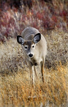 white tail deer: White Tail Deer National Bison Range Charlo Montana Stock Photo