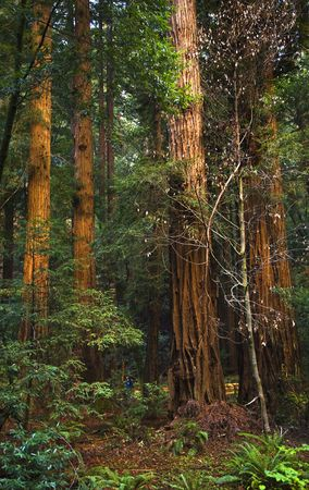 mill valley: Giant Redwood Trees Tower Over Hikers Muir Woods National Monument Mill Valley San Francisco CaliforniaFind the small blue people at the bottom of the trees. Stock Photo