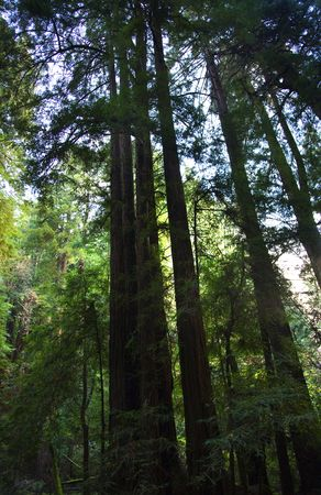 muir: Tall Redwood Trees Muir Woods National Monument Mill Valley San Francisco California Stock Photo