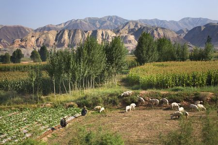 Chinese Farmers Peasants Tending Herding Sheep on farm crops with corn and mountains Lanzhou, Gansu Province China   Please note no recognizable human face. Stock Photo