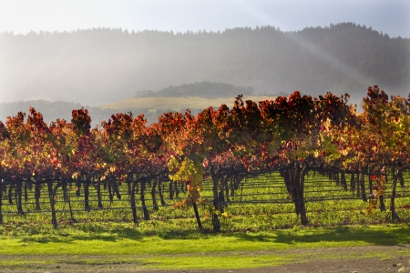 grape field: Red Yellow Leaves Fall Under the Sun Beams Napa Vineyards California