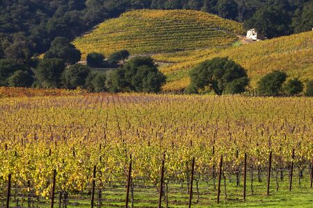 Yellow Vines Leaves Vineyards Fall White Farmhouse NapaCalifornia photo