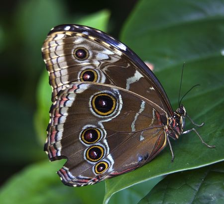 Common Blue Morpho Butterfly, morpho peleides, on green leaf with wings folded Stock Photo - 4618438