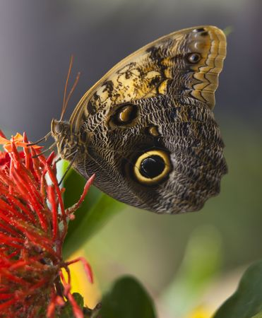 Owl Butterfly, Brassolidae, on bright red flower with wings folded Reklamní fotografie