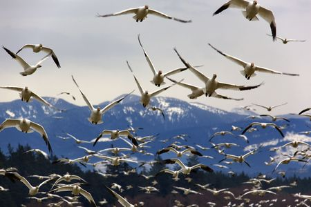 Many Snow Geese Flying From Mountain Towards Viewer  Resubmit--In response to comments from reviewer have further processed image to reduce noise sharpen focus and adjust lighting. photo