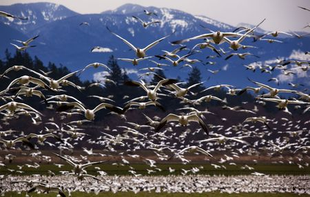 Thousands of Snow Geese Flying Directly Towards You Skagit County, Washington Snow Mountains in BackgroundResubmit--In response to comments from reviewer have further processed image to reduce noise sharpen focus and adjust lighting. Stock Photo - 4753113