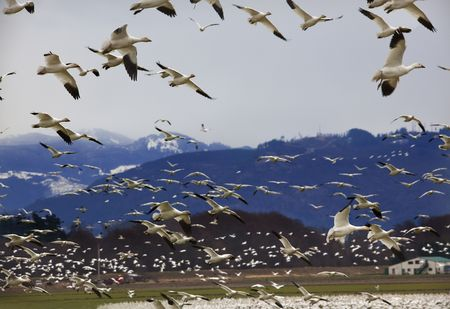 reviewer: Hundreds of Snow Geese Flying Across Mountain Landing With Flock  Resubmit--In response to comments from reviewer have further processed image to reduce noise sharpen focus and adjust lighting.