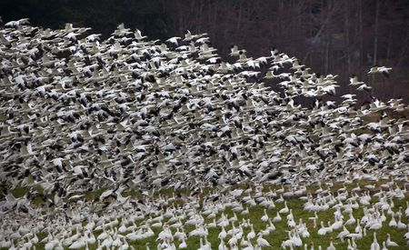 Thousands of Snow Geese Taking Off and FlyingWhen snow geese see or hear a threat, they all take off togetherResubmit--In response to comments from reviewer have further processed image to reduce noise sharpen focus and adjust lighting. Stock Photo - 4753116