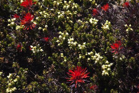 Indian Paintbrush White Heather Mount Rainier Sunrise Wildflowers