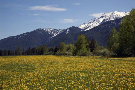 黄色の花ファーム、モンタナ州グレイシャー国立公園の近くの雪山  校閲者からのコメントに応えて - 再送信はさらにノイズを低減しシャープにフォ 写真素材