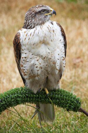 ferruginous: Ferruginous Hawk Buteo Regalis Perched Brown Feathers  Stock Photo