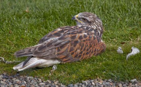 ferruginous: Ferruginous Hawk Buteo Regalis Lying Down Brown Feathers