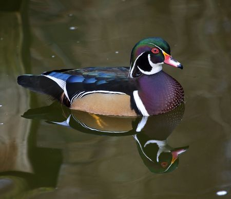Multicolored Carolina Wood Duck Swimming with Reflection Close Up Aix SponsaResubmit--In response to comments from reviewer have further processed image to reduce noise, sharpen focus and adjust lighting. photo