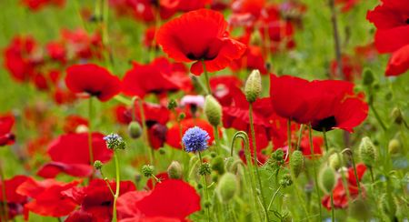 red clover: Red Poppies Flowers Blue Clover in Field Snoqualme Washington Papaver Rhoeas Common Poppy Flower