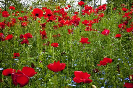 Red Poppies Flowers in Field Snoqualme Washington Papaver Rhoeas Common Poppy Flower Stock Photo - 7898391