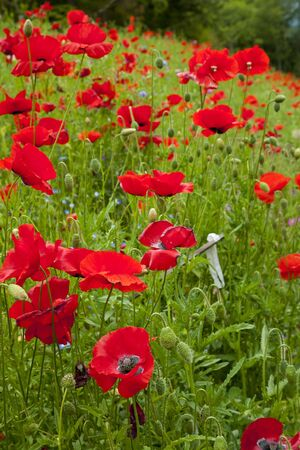 papaver rhoeas: Red Poppies Flowers in Field Snoqualme Washington Papaver Rhoeas Common Poppy Flower Stock Photo