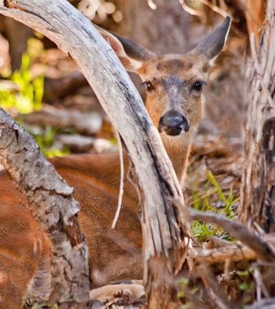 white tail deer: White Tail Deer Hiding in the Brush
