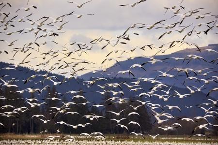 Miles de gansos de nieve volando a través de MountainBlack puntos en el fondo no son puntos de sensor por las alas negras de gansos de nieve en la distancia Foto de archivo