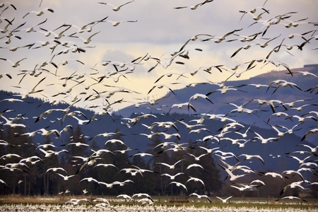 Thousands of Snow Geese Flying Across MountainBlack dots in background are not sensor spots by the black wings of snow geese in the distance Stock Photo