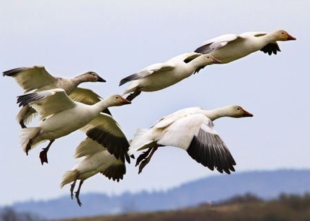 Snow Geese Flying Over Countryside Close Up  Skagit County Washington photo