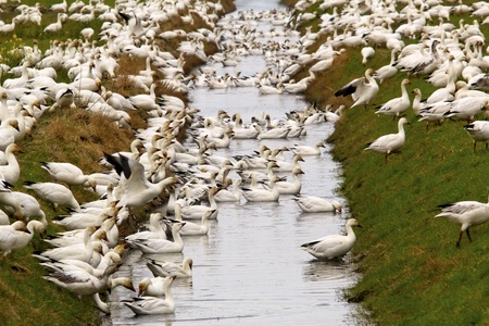 wildllife: Snow Geese Flock Drinking Rain Ditch Grass Close Up  Skagit County Washington