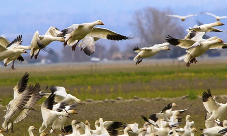 wildllife: Snow Geese Flying Over Countryside Close Up Landing Joining the Flock Skagit County Washington