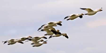 Snow Geese Flying in Line Formation Over Countryside Close Up  Skagit County Washington photo