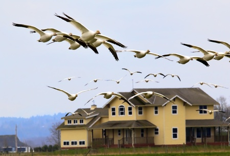 Snow Geese Flying Over Countryside House Close Up  Skagit County Washington