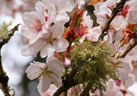 Pink Cherry Blossoms Flowers Blooming Green Moss Orchard Spring in Washington Stock Photo - 9896889