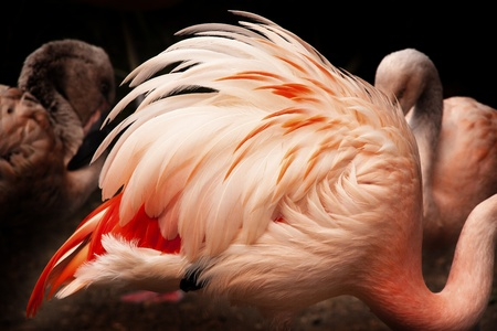 Pink Chilean Flamingo Feathers, Phoenicopterus chilensis, Orange white and pink feathers photo