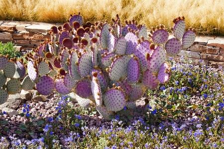 Purple Cactus Blue Flowers Desert Botanical Garden Papago Park Sonoran Desert Phoenix Arizona photo
