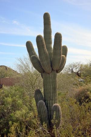carnegiea: Saguaro Cactus Carnegiea Gigantea, Desert Botanical Garden Papago Park Sonoran Desert Phoenix Arizona Stock Photo