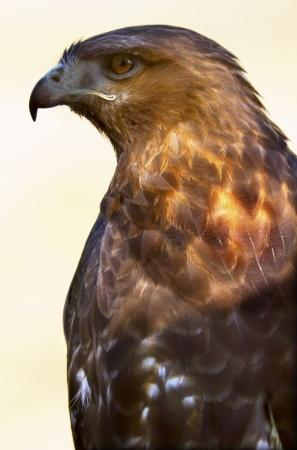 Red Tailed Hawk Buteo Jamaicensis Brown Feathers, Beak, Brown Eye, Chickenhawk