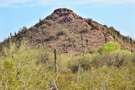 carnegiea: Saguaro Cactus Carnegiea Gigantea, Desert Botanical Garden Papago Park Sanoran Desert Phoenix Arizona Stock Photo