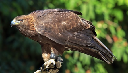 Golden Eagle Aquila Crhysaetos Bird of Prey Predator Looking Stock Photo
