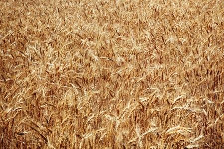 Ripe Wheat Field Ready for Harvest Palouse Washington State Pacific Northwest photo