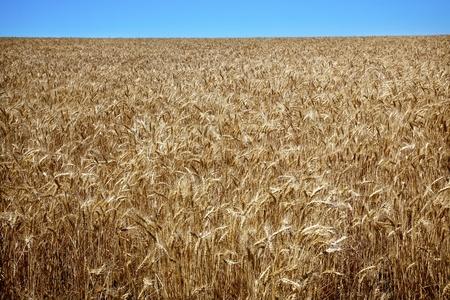 Ripe Wheat Field Ready for Harvest Blue Skies Palouse Washington State Pacific Northwest photo